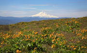 Wildflower wonderland at Dalles Mountain Ranch in the gorge