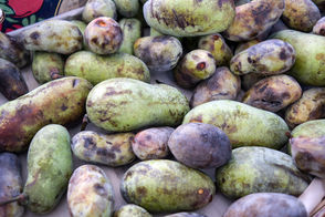 "STATEN ISLAND, N.Y. -- Mother Nature of the Northeast finally delivers the paw paw starting this week. These green, mango-shaped fruits might be referred to as the ""forgotten fruits."" This harvest comes from a distinctly American tree that literally drops its bounty for a brief stretch in late September.  They may grow wild on Staten Island in the Greenbelt and can be cultivated at home. Anne and Jon Young of Stapleton have a prolific paw paw tree in their front yard that they planted seven years ago. It stands now over 20 feet tall with solid root system. Shoots tend to cluster together. Anne and Jon advise to save the seeds. Since they need a period of cold, it is helpful to wrap them in dampened peat moss stashed in a plastic bag then refrigerated, they say. Jon told the Advance, ""They take quite a while to sprout and they'll still be  small the first year so I just take seedlings inside and overwinter."" He  gives them away the following year."