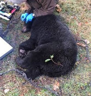 DEC helps out black bear caught in coyote trap