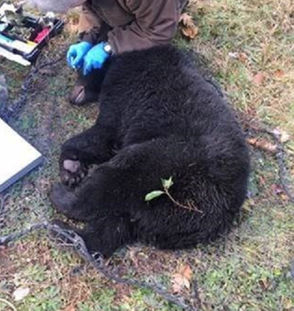 State Department of Environmental Conservation staff recently helped out a black bear caught in a coyote trap in the Catskills area. That incident and three others involving DEC environmental conservation officers occurred between Oct. 29 and Nov. 4. All specifics below were supplied by the DEC.