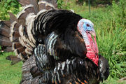 Here's where to find locally grown, fresh Thanksgiving turkeys in Massachusetts