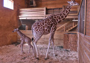 Last chance to see April the Giraffe's baby in Upstate NY: Tajiri moving to new zoo