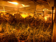 Police seize 158 marijuana plants in Arenac County, man charged