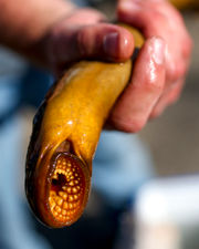 Researchers trap Grand River lamprey with sex pheromones