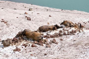 Melting snow reveals 19 dead elk likely killed by an avalanche