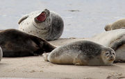 It's seal season! Everything to know about these blubbery beasts' N.J. vacation