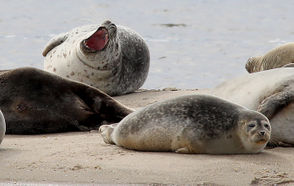"""If you are lucky enough to see a seal, remember to keep your distance. These are wild animals with sharp teeth; Schoelkopf recommends staying at least 150 feet away. And please, keep your dogs on the leash. """"Do not approach a seal on the beach if you have pets or children,"""" Schoelkopf said."""