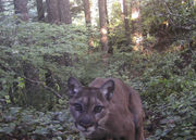 Oregon wildlife officials call off hunt for killer cougar; DNA doesn't yield answers