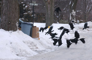 Hungry crows raid a box of garbage in downtown Auburn.