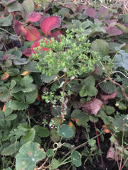 How to fight stubborn petty spurge, invasive bushes: Ask an Expert