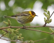 Celebrate the return of spring songbirds to NE Ohio with the 85th Annual Spring Bird Walks