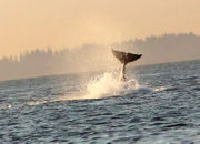 Where to see orcas in the Pacific Northwest