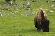 Oregon man charged with harassing Yellowstone bison to stay in jail