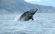 Gray whales returning to the Oregon coast for winter migration