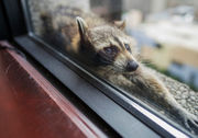 A raccoon is scaling the side of a tall skyscraper, and it's incredibly stressful