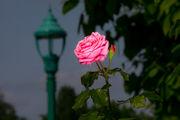 3,500 roses in full bloom at Hershey Gardens