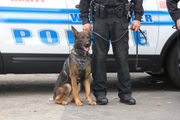 Meet the Worcester Police Department's two new K-9s, Ace and Mattis