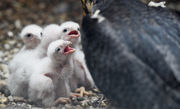 Readers name falcon chicks after Jackson police officers killed in line of duty