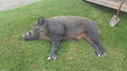 Wild boar subdued after charging patron at Morgan Co. gas station