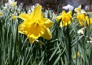 50K daffodils bloom at Reeves-Reed Arboretum, need we say more?