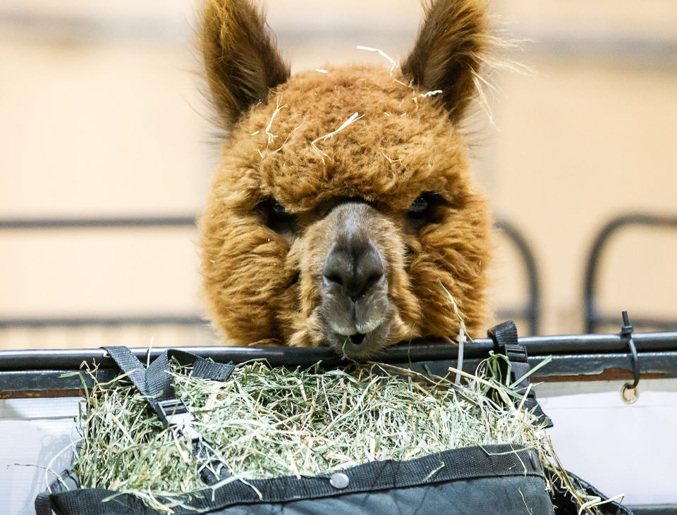 2f4fda33a Pin-up contest, beer and alpacas, what more do you want? 70 free ...