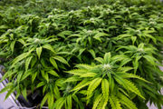Webinar: Here's how to make marijuana in Massachusetts successful from business and social justice perspectives