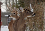 Removing dead deer only part of the solution (commentary)