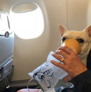 JetBlue crew saves couple's French bulldog during flight