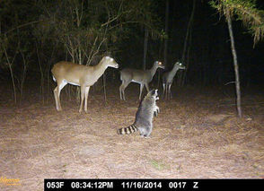 Lisa Keeble Deason caught deer and raccoons looking for something in Smiths Station, Alabama.