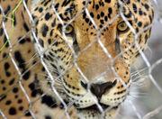 Audubon Zoo jaguar escape: What happens now?