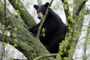 2 bears in 2 urban cities part of growing trend of southern Michigan sightings