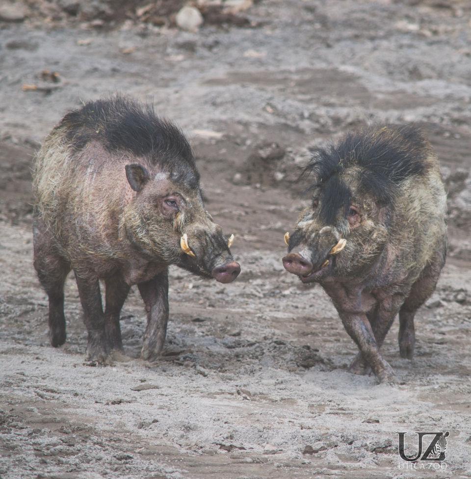 Meet the endangered rockstar pigs at Utica Zoo