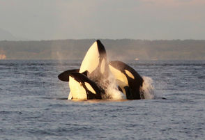 """The orca calf lived for only half an hour, but the mother spent 17 days carrying its body on her nose this summer, crossing the Salish Sea from the San Juan Islands into Canadian waters and back in a visceral display of animal grief that captivated whale watchers around the globe.  Tahlequah, also known as J35, was far from the first mother to grieve. Her population of southern resident orcas hasn't seen a successful birth in three years. Over the last two decades, three-quarters of their calves have died.  Ken Balcomb, lead scientist at the Center for Whale Research on San Juan Island, said the three pods that make up the most iconic killer whale population in the Pacific Northwest have rebounded from loss before, but this time they seem to be headed in one direction.  """"Extinction,"""" he said. """"They're not going to make it.""""  Other populations of Pacific Northwest orcas – like the northern residents that live off the upper coast of Vancouver Island, and the transient killer whales that roam the ocean freely – are doing fine, Balcomb said. It's only the southern residents that are in trouble.  The humans closest to the southern resident orcas consider them family, and already people are beginning to grieve. It's a heartache that tears at the cultural fabric of the San Juan Islands, where residents' lives are deeply intertwined with the creatures."""