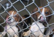 65 rescued beagles should be ready for adoption soon