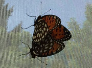 ZooAmerica Regal Fritillary Conservation Program works to restore rare Pennsylvania butterfly