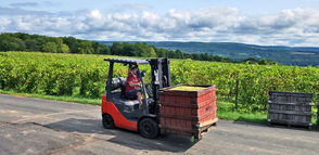Vineyards and wineries in the Finger Lakes region are ramping up their grape harvesting.