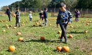 Pumpkin picking time at Decker Farm