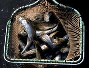 DEQ gives Au Sable River trout farm expansion permit