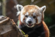 Red pandas and otters have a new home at Philadelphia Zoo