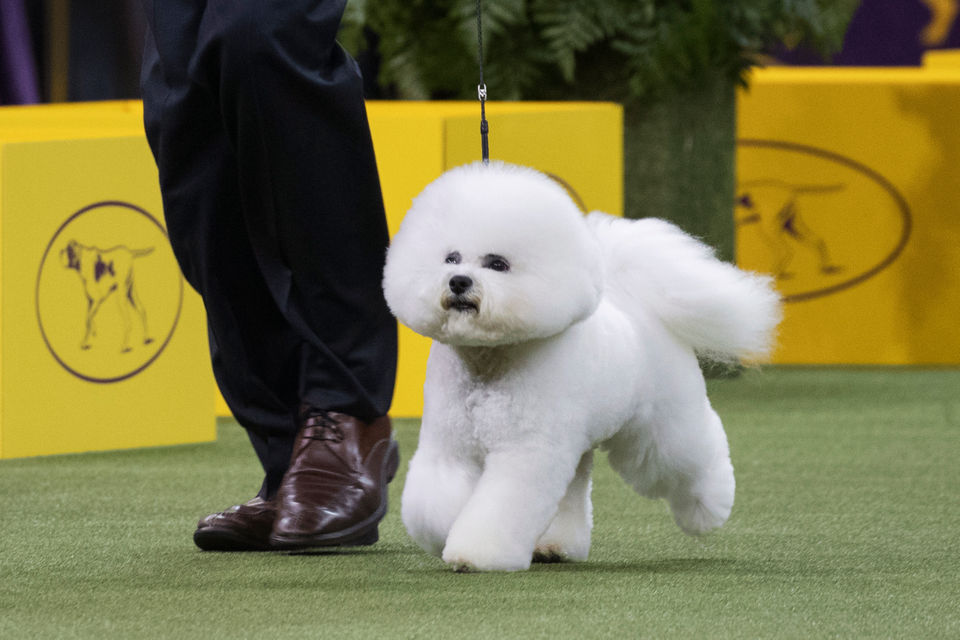 What Channel Is Westminster Dog Show Tv Time Streaming Info For