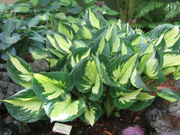 8 tips for growing beautiful hostas in Oregon