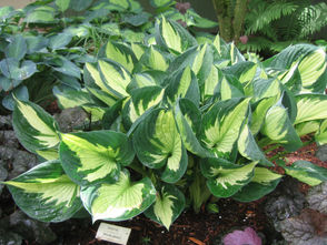 Where to plant: Though some hostas are more sun tolerant than others (check the tag), most appreciate the shade. In most cases, early day sun to about mid-morning and late afternoon sun after 5 p.m. will not burn your hosta.