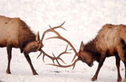 Elk viewing season is here: 4 places to see elk in Oregon this fall
