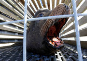 Battle of species pits protected sea lions vs. fragile fish