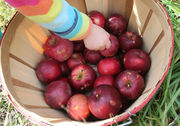 Among the apples, 2018: Where to pick, how to cook