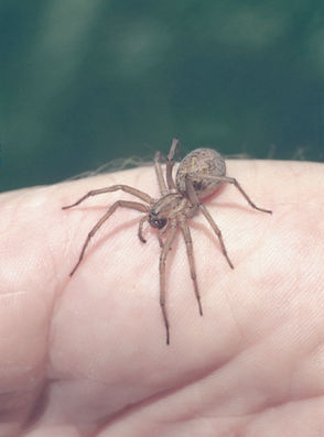 Hobo spiders are not venomous, but their bite can cause pain, redness and itching.