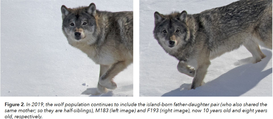 Unknown' wolf visitors, rebuffed incest, hungry moose