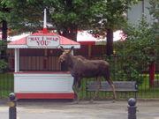 34 amazing Upstate New York moose photos
