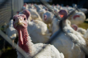Americans will eat more than 40 million turkeys for Thanksgiving this year. Most will be roasted, some deep-fried, a few spatchcocked and nearly all turned into sandwiches the day after.At least one lucky bird will receive a presidential pardon. But between the iconic 1621 meal that we honor and Thursday's dinner table, the turkey has earned its place in our nation's mythology.