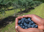 Where to pick blueberries on Louisiana, Mississippi farms